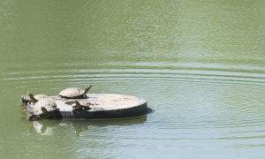 Sunning turtles.