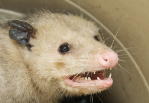 possum-face5415