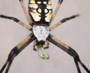 Golden orb-weaver has a snack.