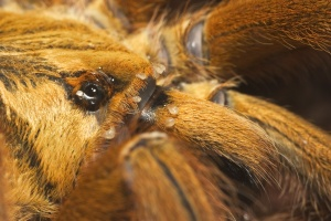 Orange usambra tarantula covered with mites.