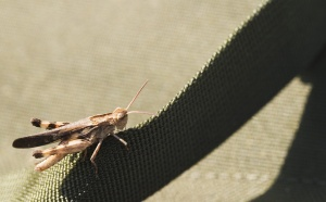 An observing grasshopper.