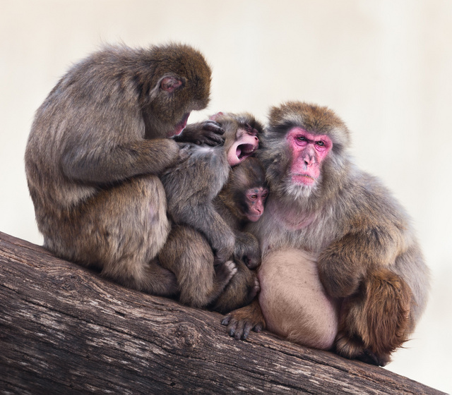 snow_monkey_family_6480web