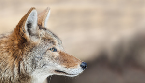coyote_profile_6360web