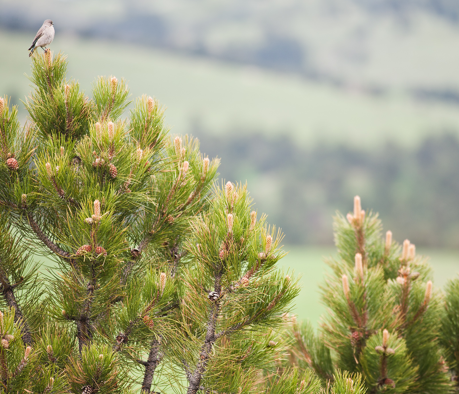 first conifers - photo #10