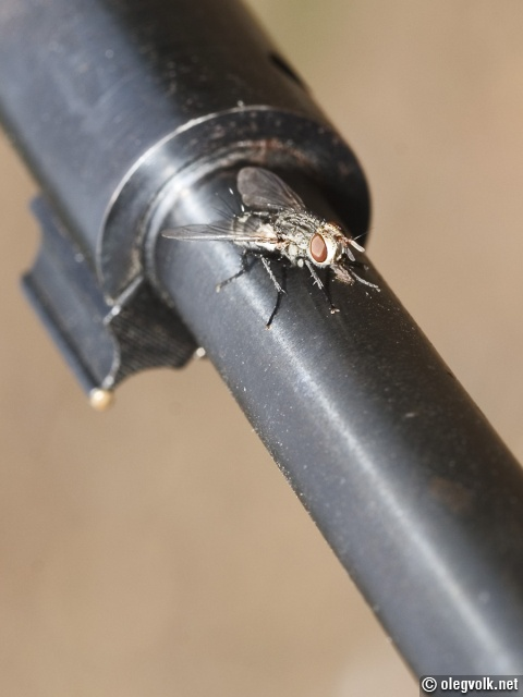 Fly perched on a warm rifle barrel.