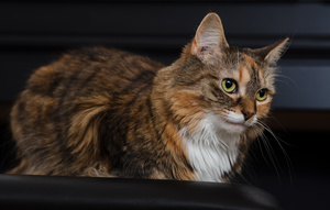 calico_cat_D6A4853web