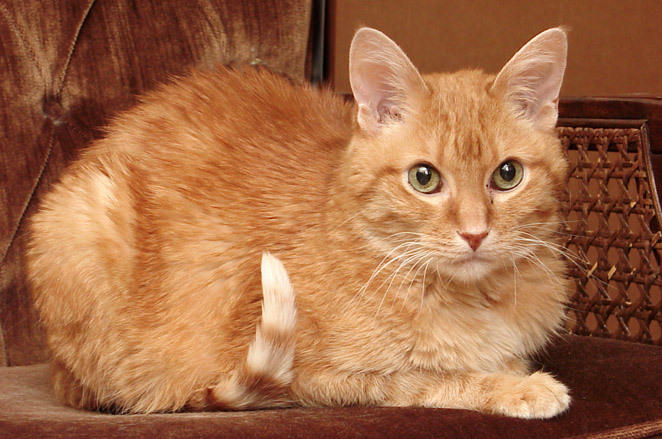 The Orange Tabby Cat  8 Fun Facts  Catster