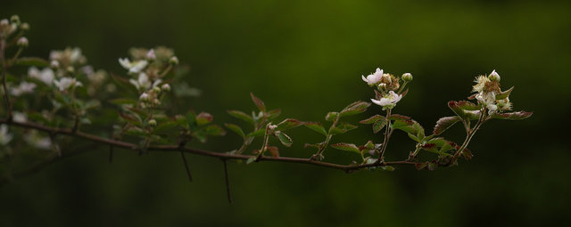 blackberry_branch_DSC8295web